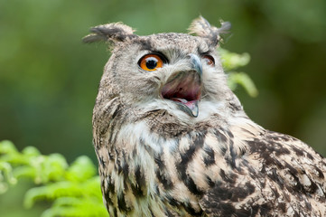 Wild owl with open beak
