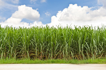 Fototapete - Sugarcane field and cloudy sky