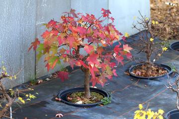 Bonsaibaum im Herbst