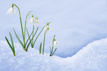 Group of snowdrop flowers  growing in snow