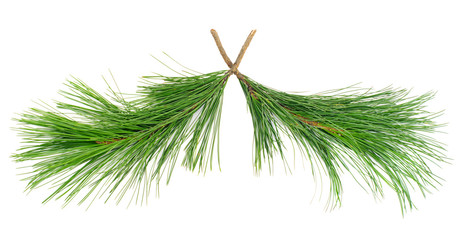 two  cedar twigs on white isolated