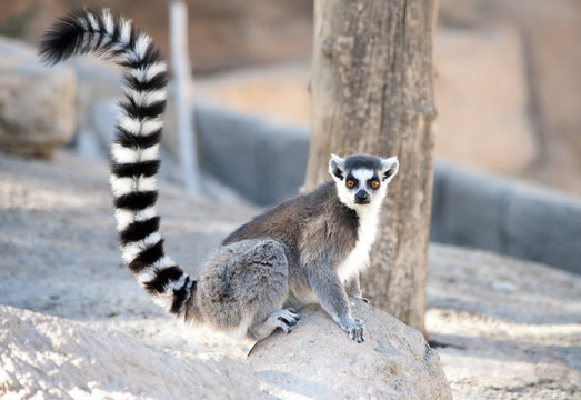 Ring tailed Lemur sitting on a rock