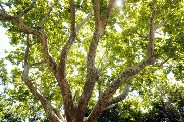green plane tree in Avignon city in France
