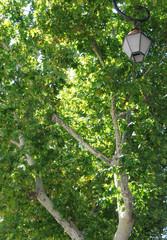 green plane tree in Avignon city in France