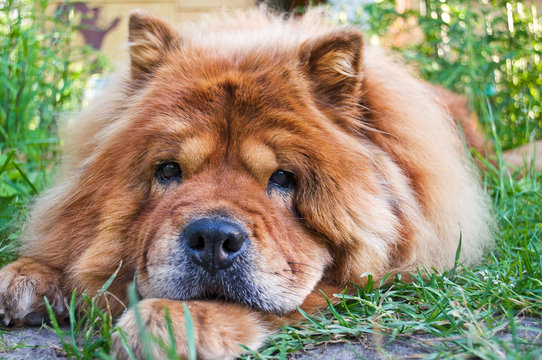 portrait of a dog breed chow-chow
