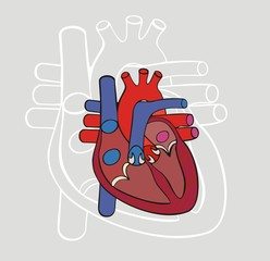 Anatomy of the heart. Vector.