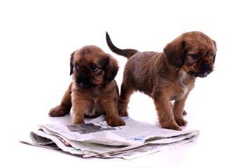 Welpen sitzend und stehend mit Zeitung