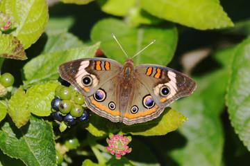 Fotoväggar - Common Buckeye Butterfly