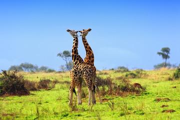 Two giraffes in the african savannah