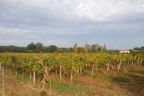 Filari di vite nella campagna francese gironda for Scaffali di campagna francese