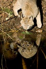 Bobcat Drinks