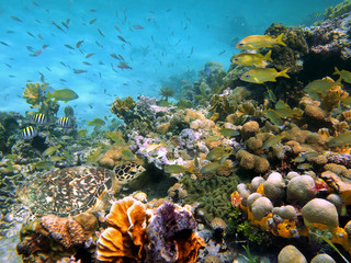 In de dag Onder water A sea turtle in a thriving coral reef with shoal of tropical fish underwater in the Caribbean sea