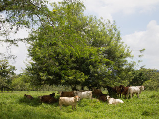 Cows resting under tree shadow