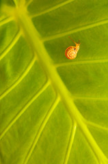 Little snail on green leaf background