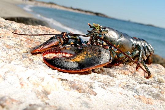 Beach Lobster