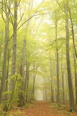 Keuken foto achterwand Bos in mist Forest trail surrounded by beech trees in a misty autumn morning