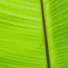 backlit fresh green banana leaf with small water drops