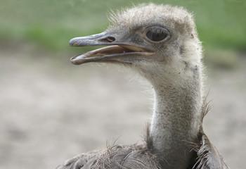 Shaggy ostrich