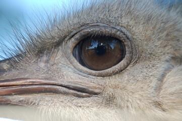 Eyeballing you - Ostrich (Struthio camelus)