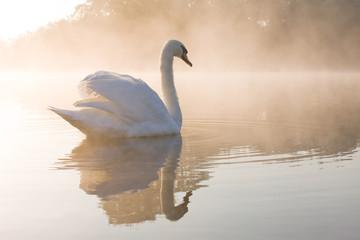 Foto op Canvas Zwaan Pale dawn Swan