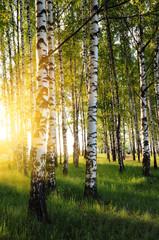 Spoed Foto op Canvas Berkbosje birch trees in a summer forest