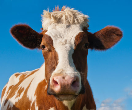 Portrait of a red spotted cow against a blue sky