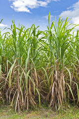 Fototapete - Rows of sugarcane in the field