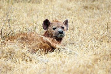 Laid-down hyena  picture