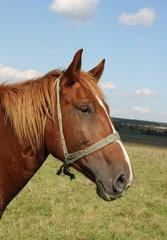 Beautiful brown horse closeup