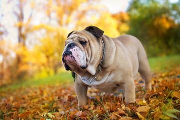 Bulldog in autumn