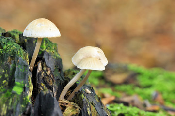 Deep Root mushroom (Xerula radicata) on a dead tree trunk