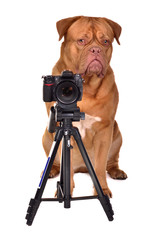 Dogue De Bordeaux photographer with camera