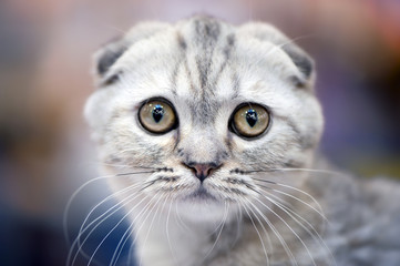 Scottish fold cat with forward-folded ears