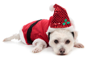 Wall Mural - Small white dog in santa suit