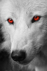 Photo sur Plexiglas Loup White wolf