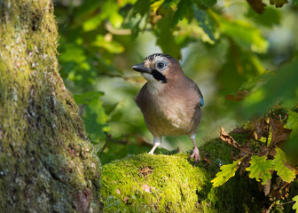 Jay in Oak tree