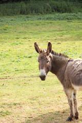 Fotobehang Ezel quiet donkey in a field in spring, ane
