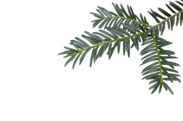 Branchlet of christmas tree