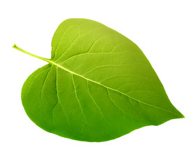 Keuken foto achterwand Natuur green leaf isolated
