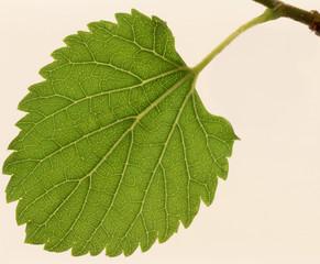Leaf a mulberry,