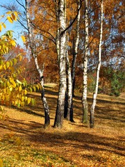 Garden Poster Birch Grove colorful autumn forest