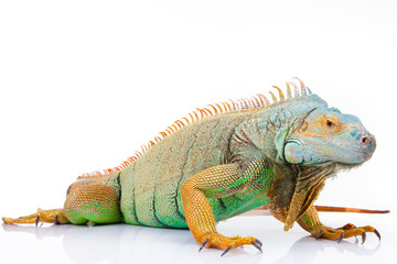 portrait of iguana on isolated white Wall mural