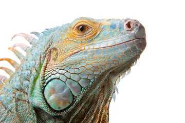 iguana on isolated white Wall mural