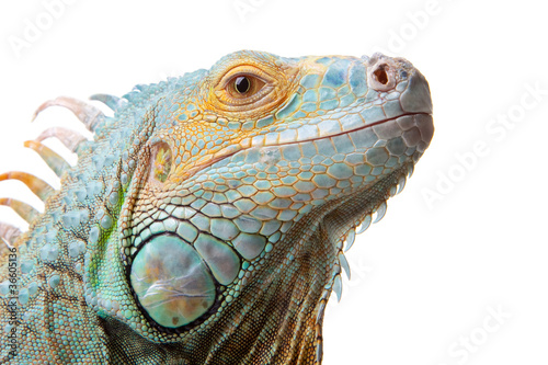 Wall mural iguana on isolated white