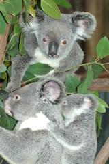 コアラ 3匹