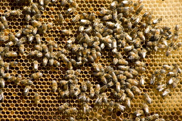 Honey bees working on a honeycomb
