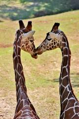 Giraffes kissing