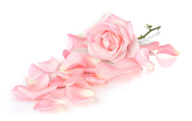 Beautiful pink rose and petals isolated on white