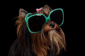 Dog with green sun glasses, isolated
