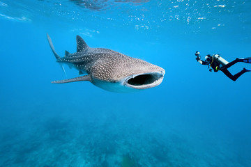 Whale shark and underwater photographer Wall mural